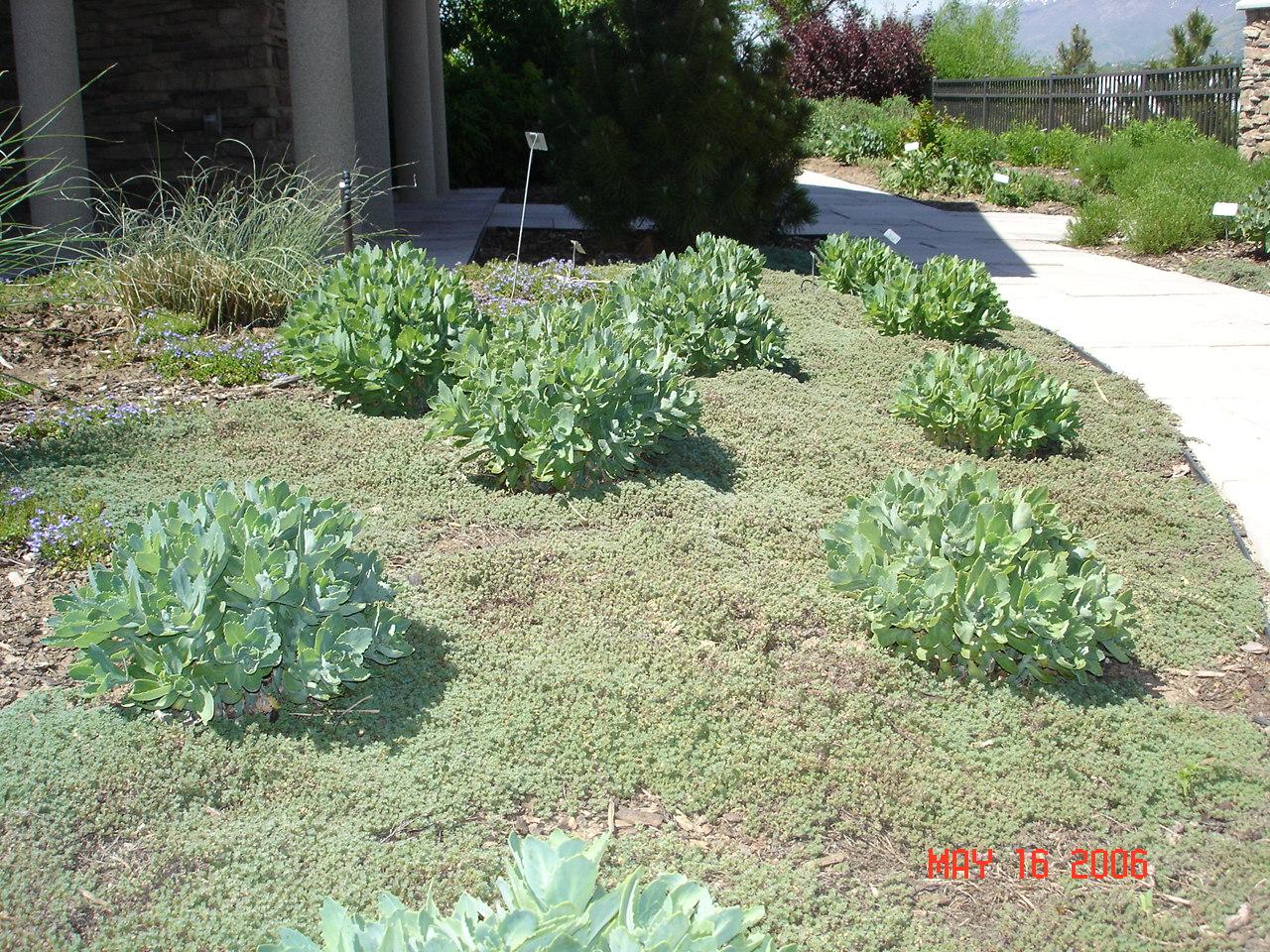Sedum Thyme Ut 2006 Grow Your Own Nevada
