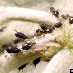 ants and aphid