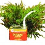 gasoline can and juniper