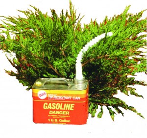 Junipers are highly flammable.