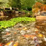garden pond with koi fish
