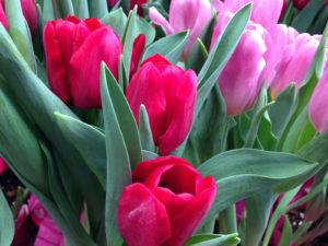 Tulips AA