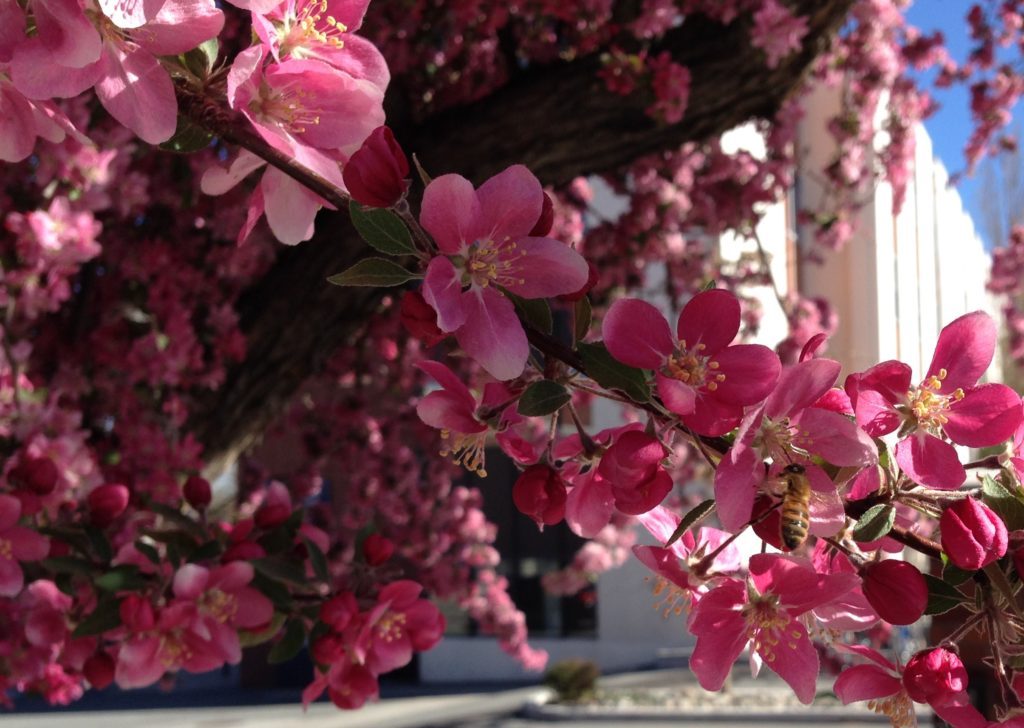 Bee on flowering tree. Photo by Ashley Nickole Andrews