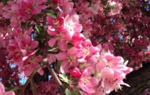 Bee on flowering tree. Photo by Ashley Nickole Andrews.