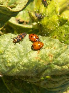 : Larvae on the left and in the background, two adults on the right.  All are voracious aphid eaters! Photo by Wendy Hanson-Mazet, UNCE.