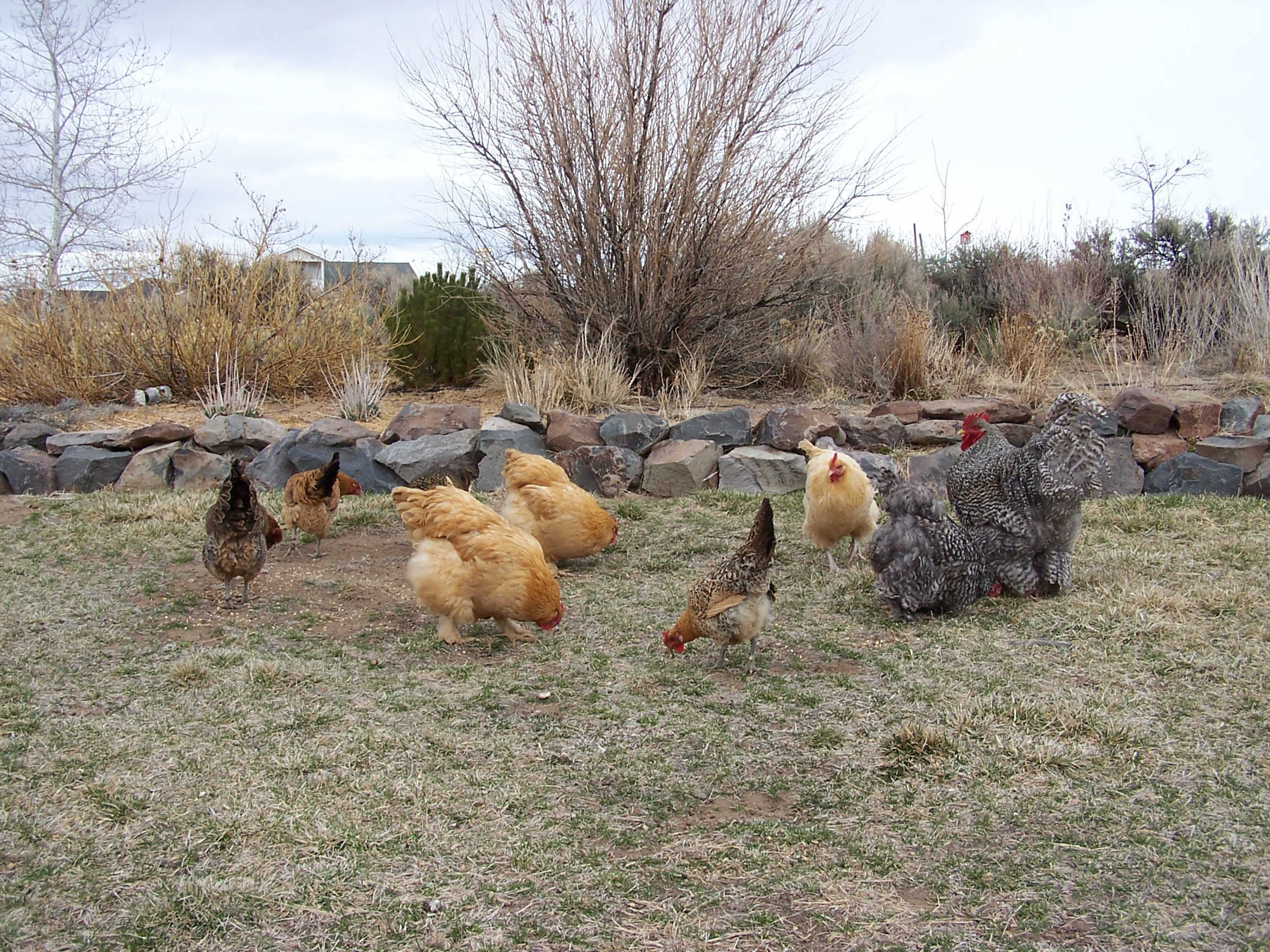 Chickens and IPM
