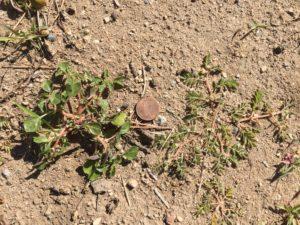 prostrate pigweed seeding, puncturevine seeding