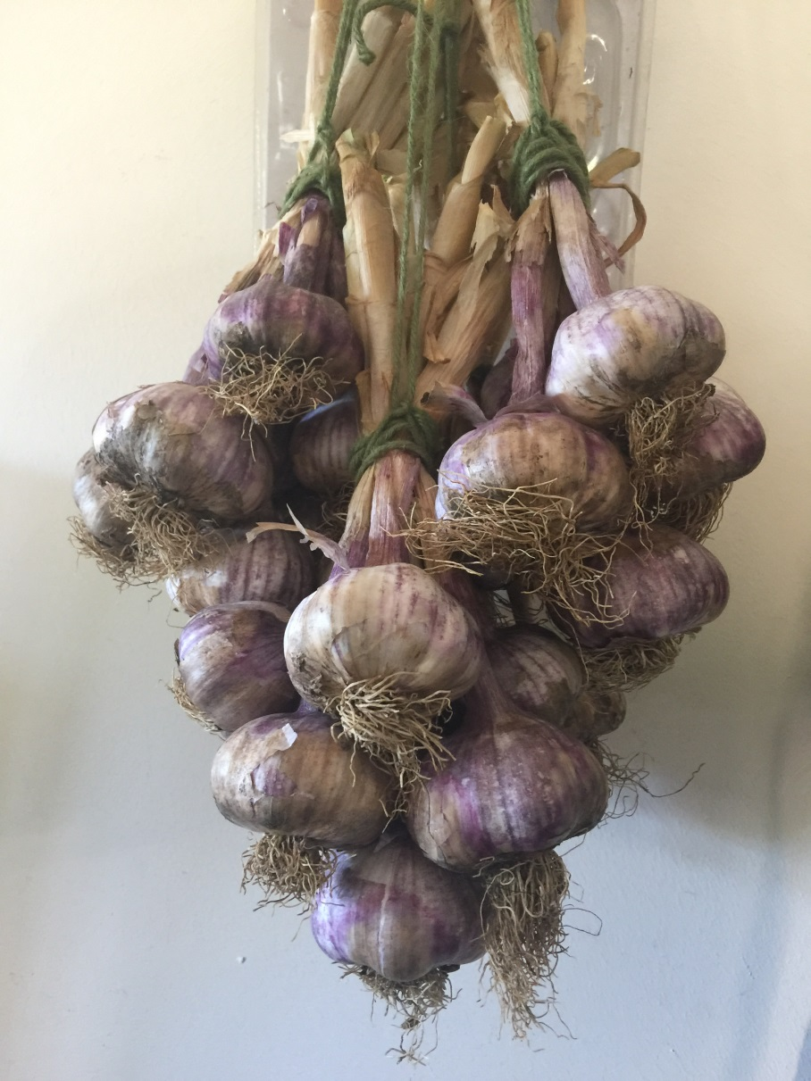 Garlic Harvested: Get Ready For Fall Planting