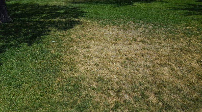 Summer Turfgrass