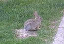 Controlling Rabbits