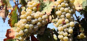 Growing Grapes and Making Wine in Nevada @ Reno | Nevada | United States