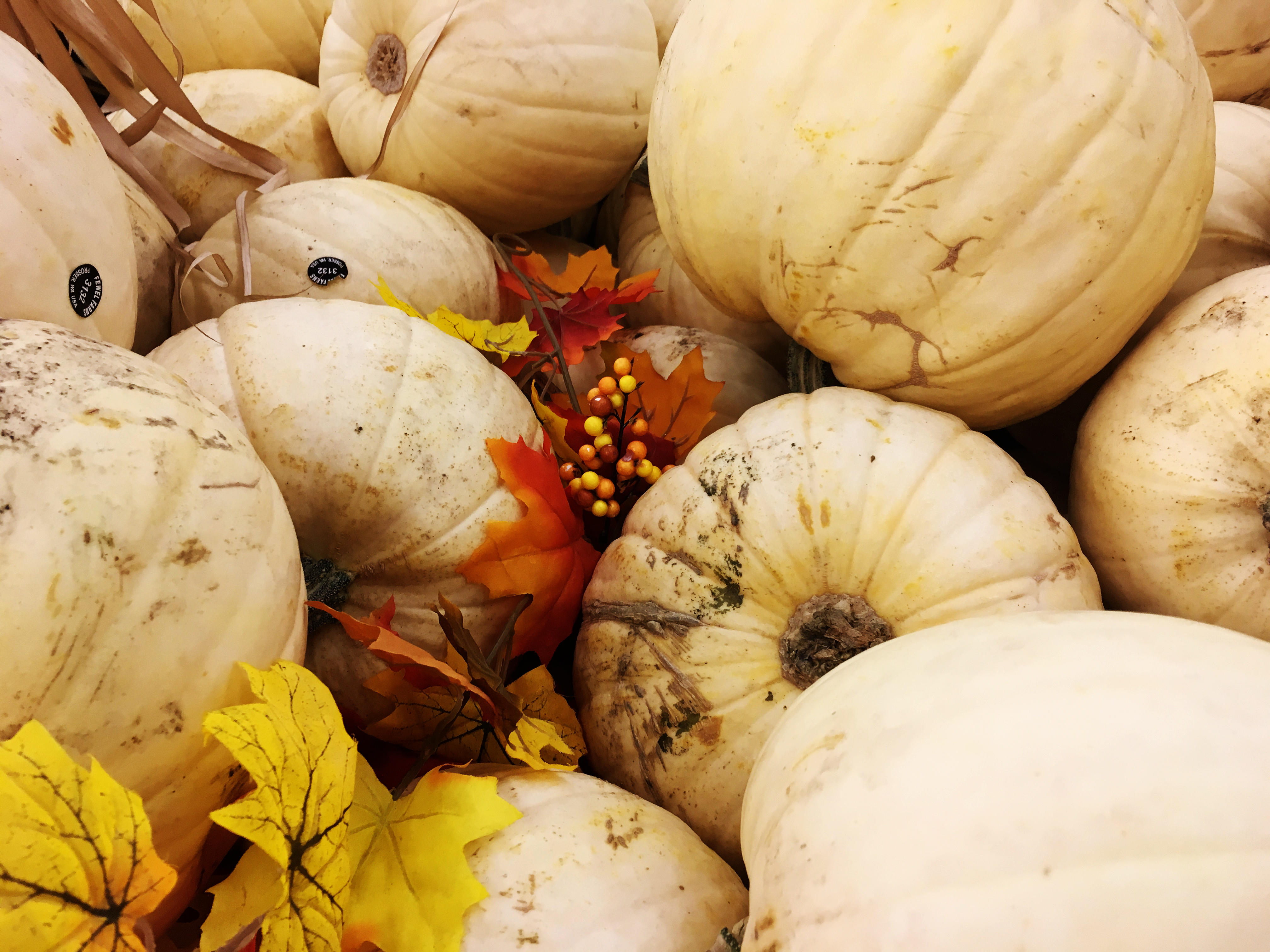 Pumpkins with pale rinds stand out as Halloween decorations. Varieties to try include Lumina, Baby Boo or Casper. (Photo: Photo by Ashley Andrews.)