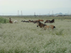wild horses in field of tall whitetop