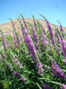 purple loosestrife flowers