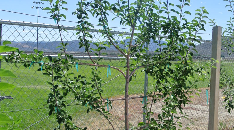 Prune fruit trees to create beautiful, edible landscapes