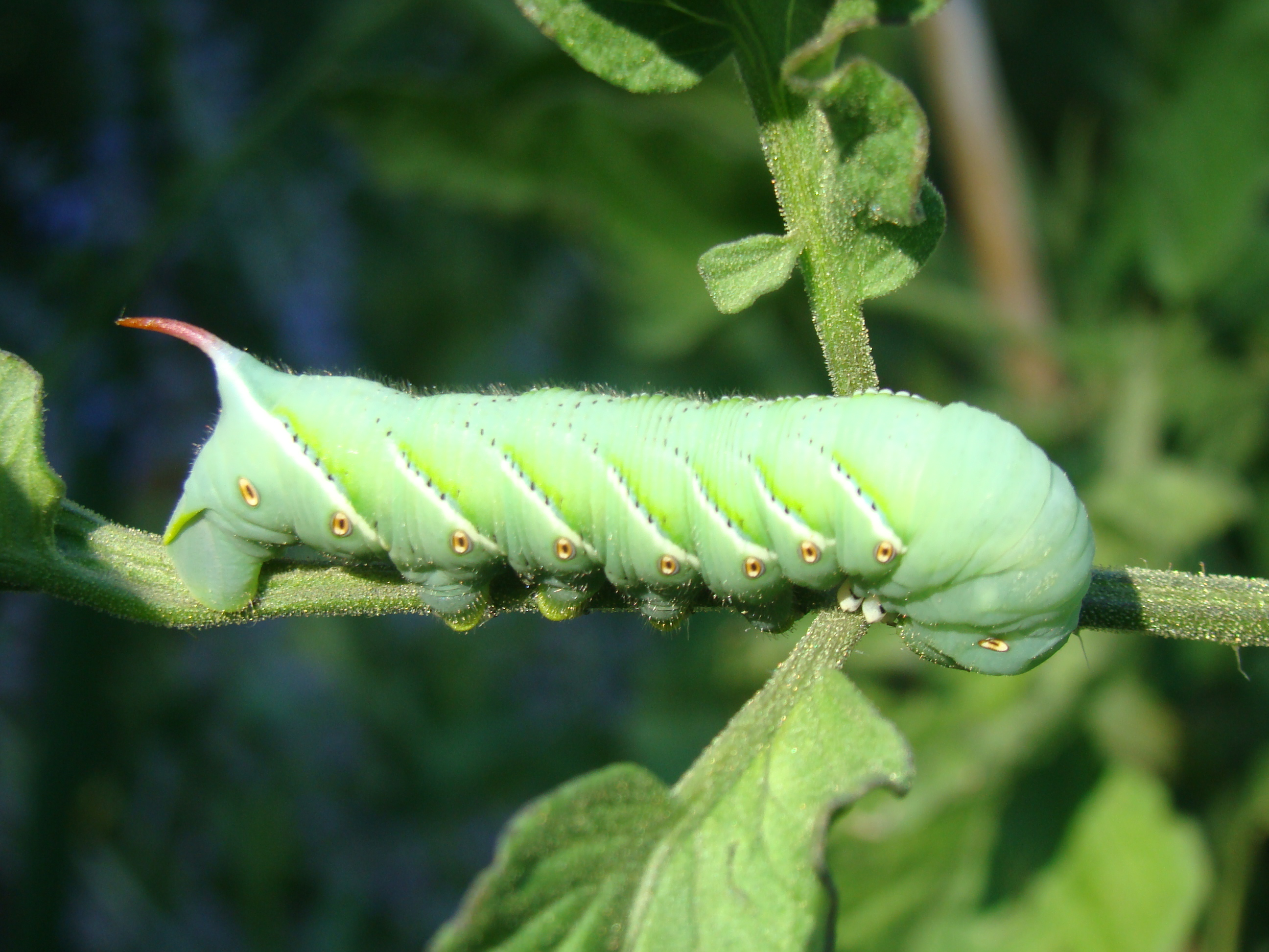how to take care of tomato worms