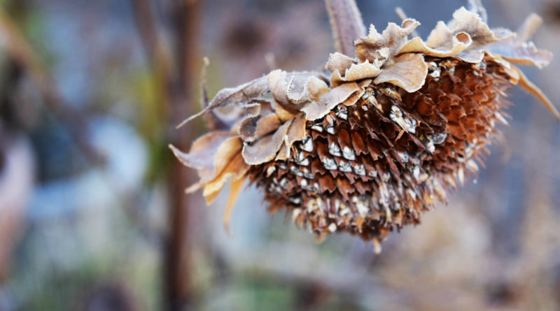 Dried sunflower.