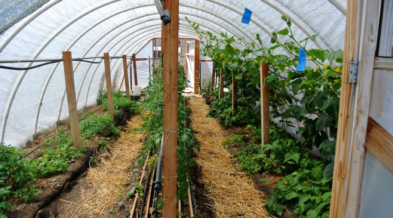 Crops growing in rows inside of a hoop house.