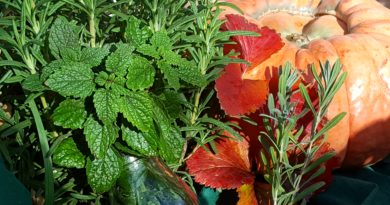 Decorating the dinner table with autumn colors and herbs such as rosemary, lemon balm, strawberry leaf or lavender can add some pop to holiday festivities. Photo by Wendy Hanson Mazet.