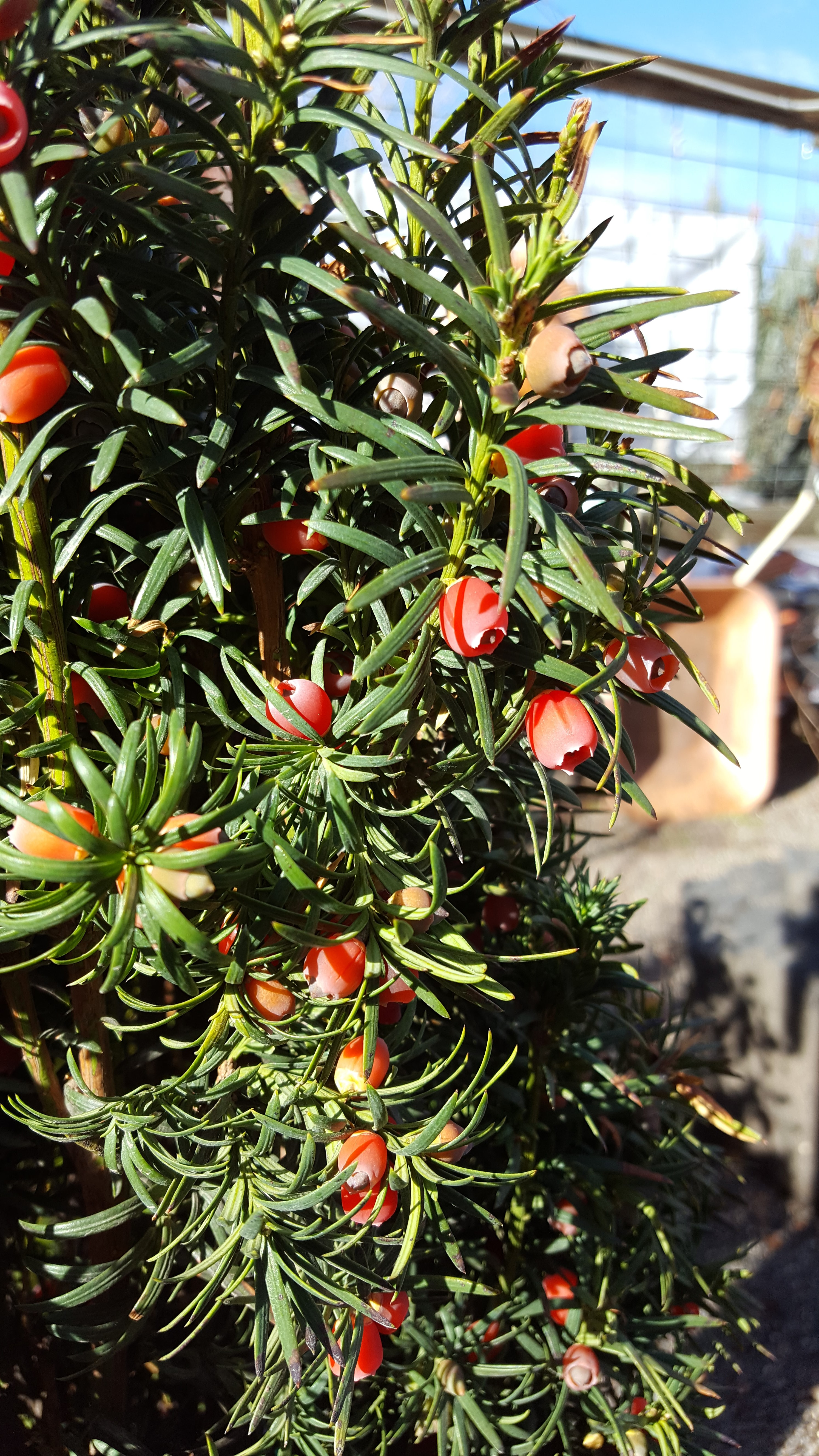 evergreen plant with red berries