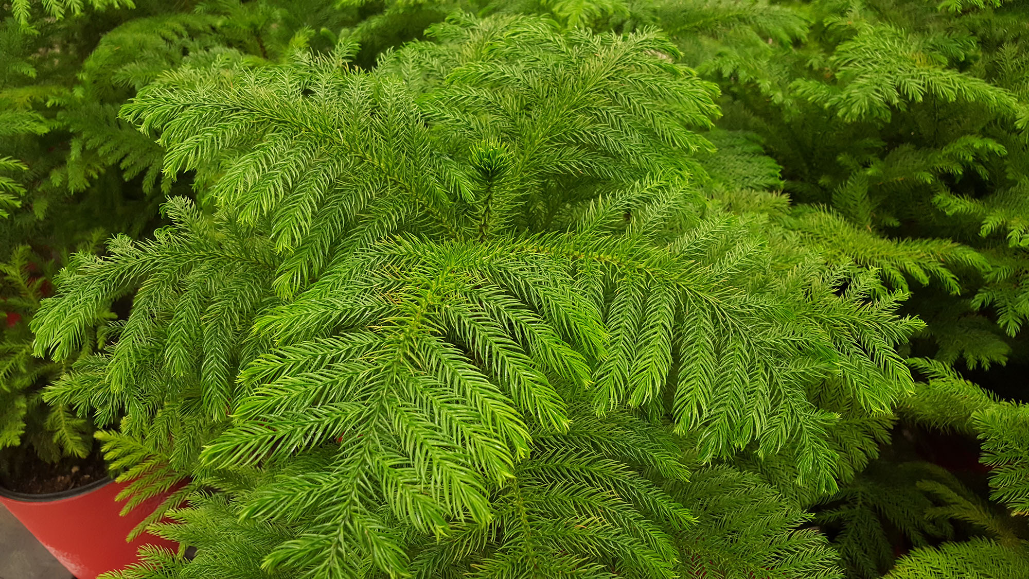 Norfolk Island pine branch