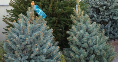 Live trees are one Christmas tree option and can be planted outside after Christmas or kept as a house plant year-round, depending on the tree. Photo by Wendy Hanson Mazet, Cooperative Extension.""