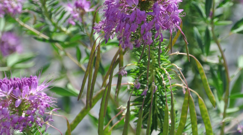 Cleome serrulata (Rocky Mountain beeplant) is a long-blooming native annual that is a valuable nectar source for native bees and honeybees. Photo by Wendy Hanson Mazet, Cooperative Extension.""