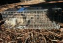 Ground squirrel in live trap.