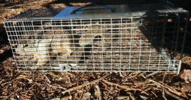 Ground squirrel in live trap.