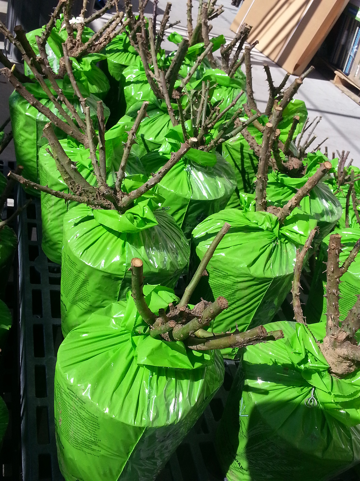 bare root roses at nursery
