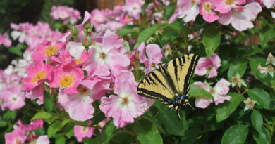 pink rose shrub with swallowtail butterfly