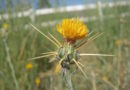 close up of yellow star thistle flower