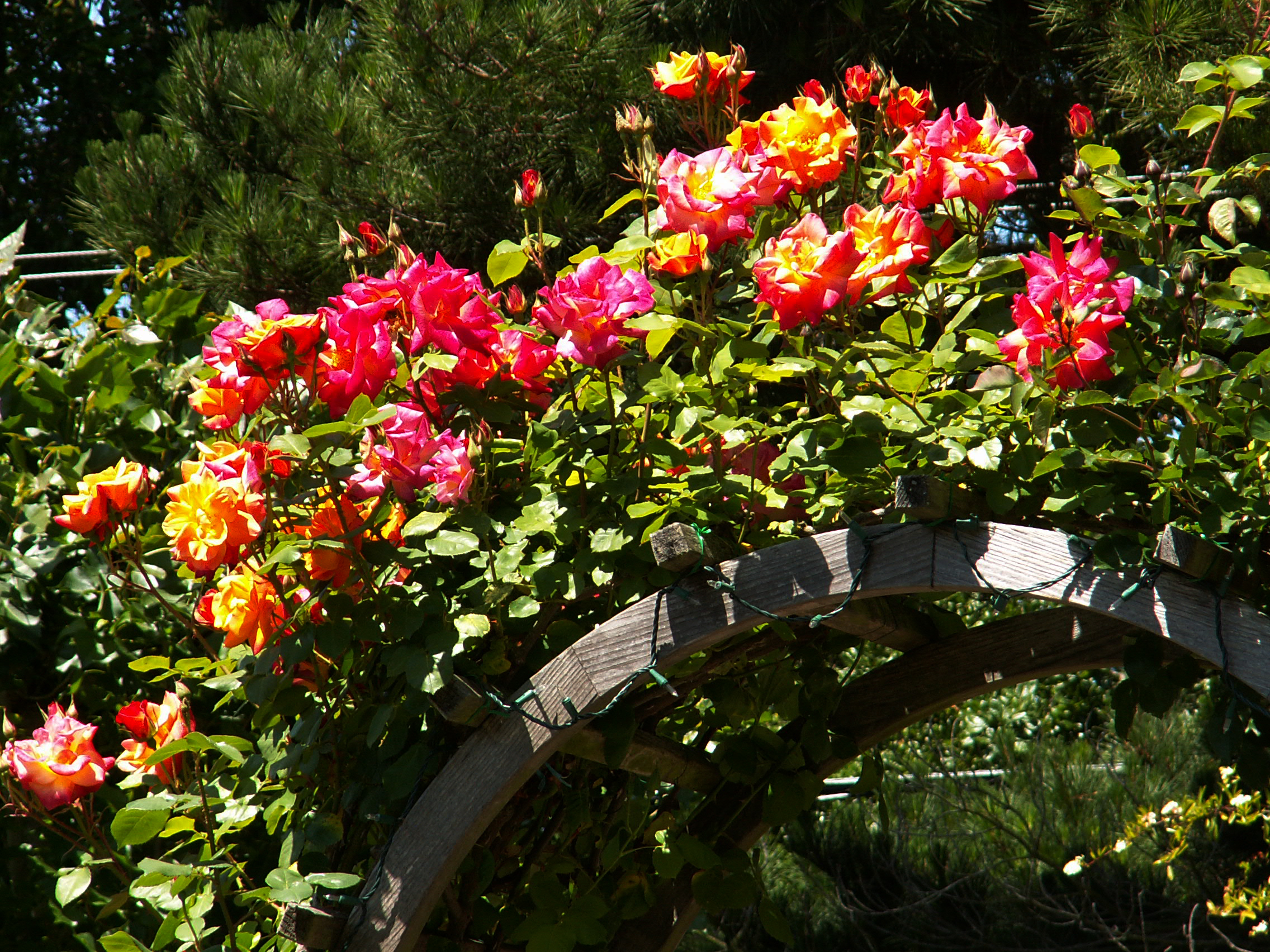 Different rose varieties need different pruning