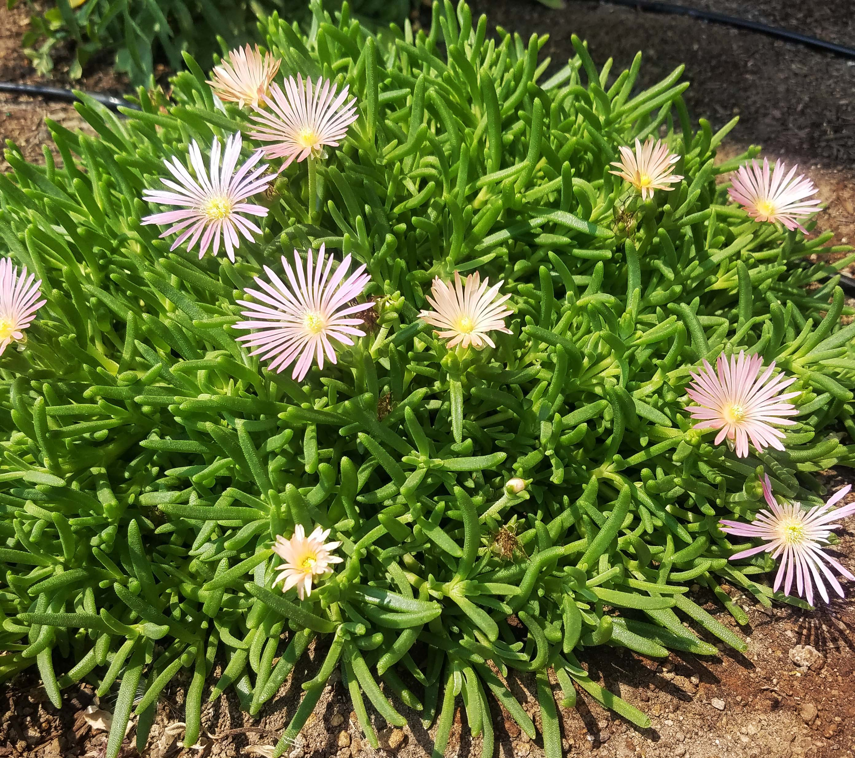 ice plant with pink flowers