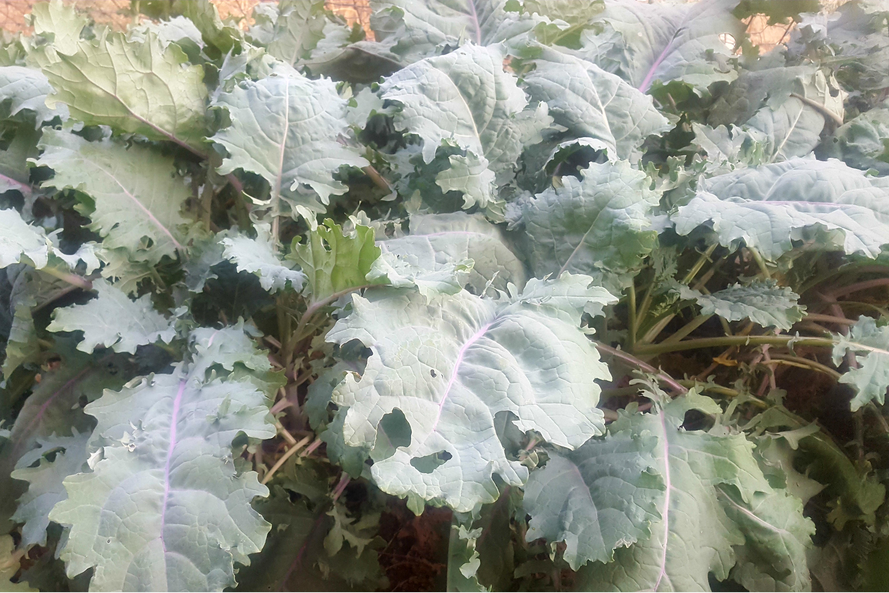 russian kale leaves
