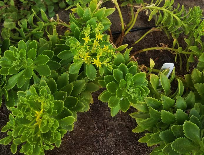 Sedum takesimense with yellow flowers