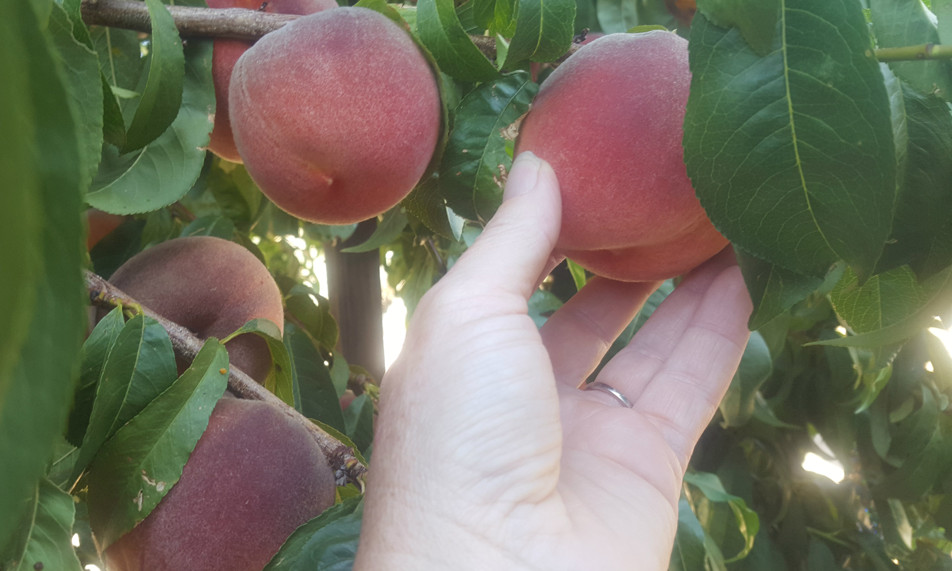 hand grabbing peach from tree