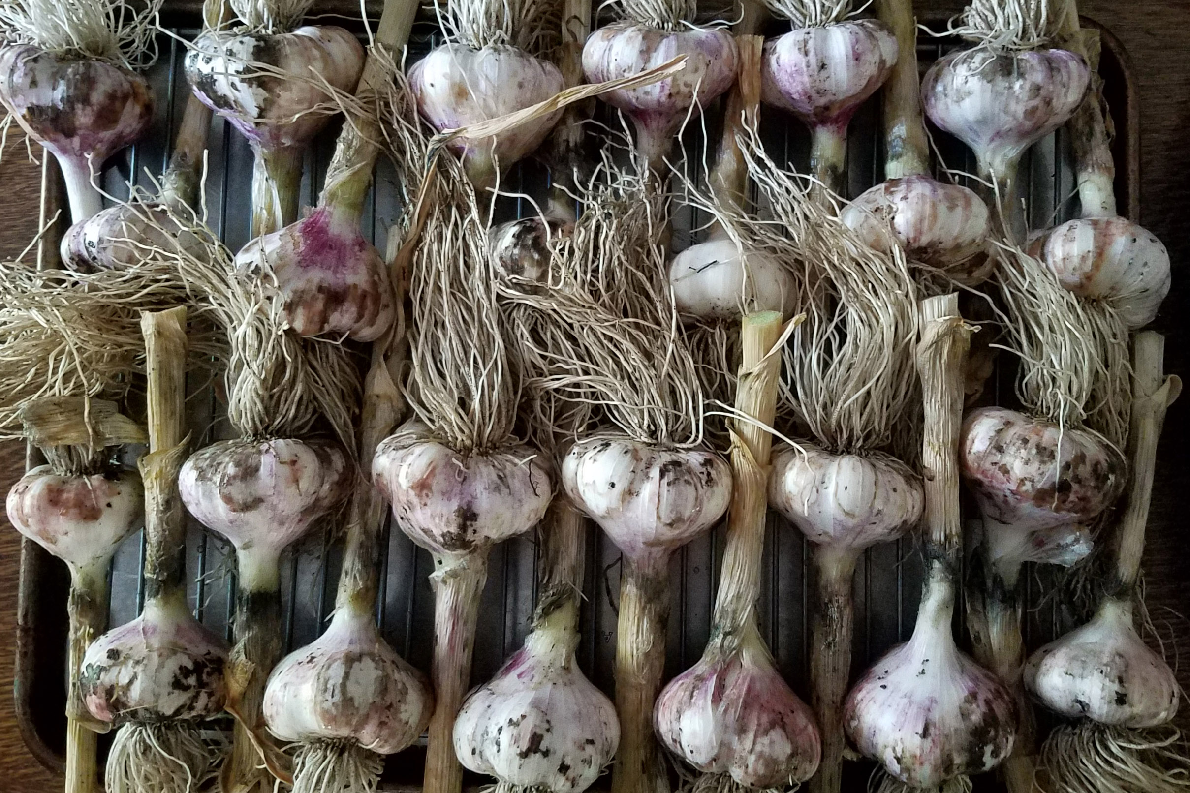 garlic on a tray