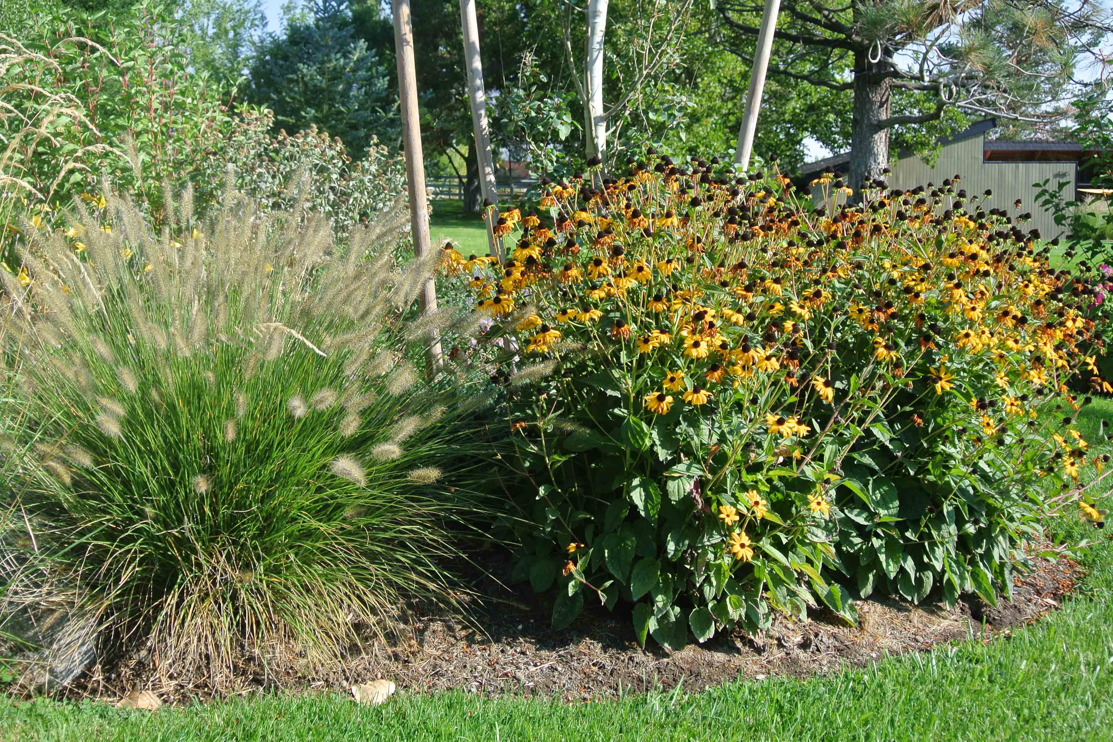 black eyed susan next to ornamental grass