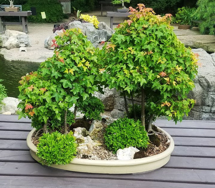 amur maple and shrub bonsai potted landscape