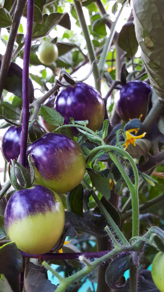 purple and green tomatoes