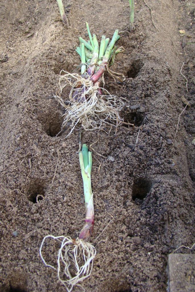 onions in soil