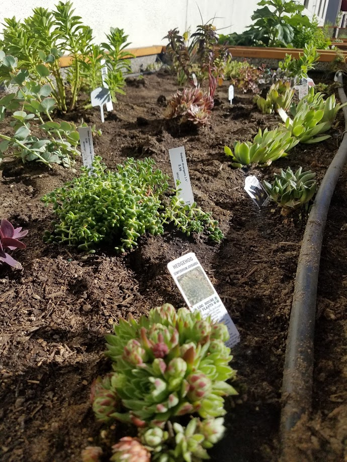 succulents in garden bed