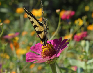 Attract pollinators to your garden