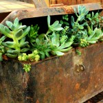succulents in rusted toolbox