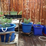 tomato plants in bins on patio
