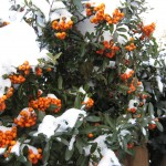 pyarcantha with snow