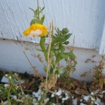 flower in snowy garden