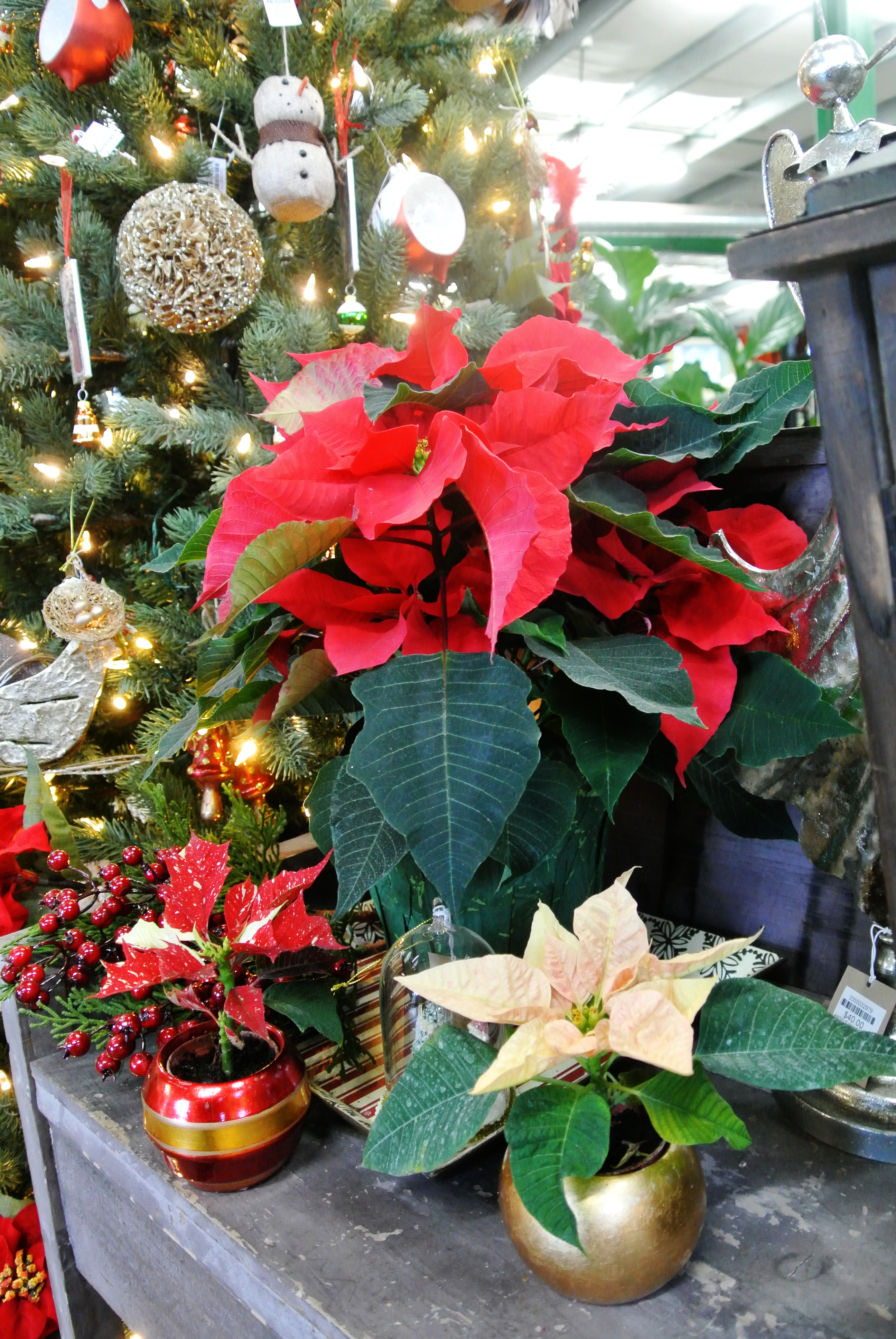 Uncover Holiday Houseplant Secrets with Botany