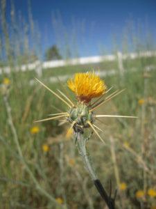 yellow starthistle flower